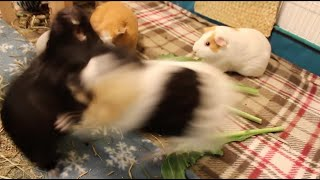Ridiculous guinea pig fight