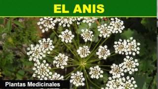 157   El Anis   Plantas Medicinales