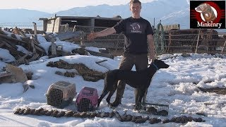 43 Rats Caught By Mink and Dog!!!!!