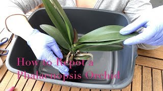 Repotting a Phalaenopsis Orchid