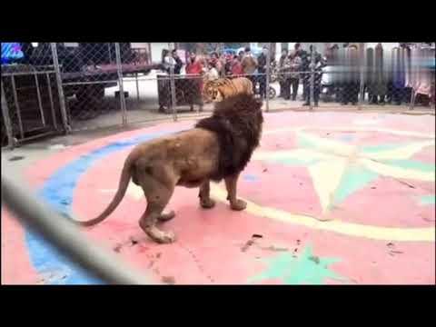 最新老虎與獅子打鬥視頻 Tiger and lion fighting video