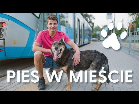 Pies W Mieście - Jak Przygotować Psa