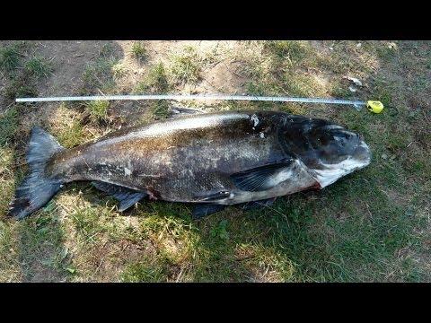 Tolpyga Pstra 48 Kg 155 Cm / Spearfishing Bighead Carp 106 Lb