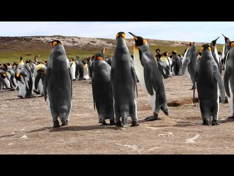 King Penguins Challenging Each Other