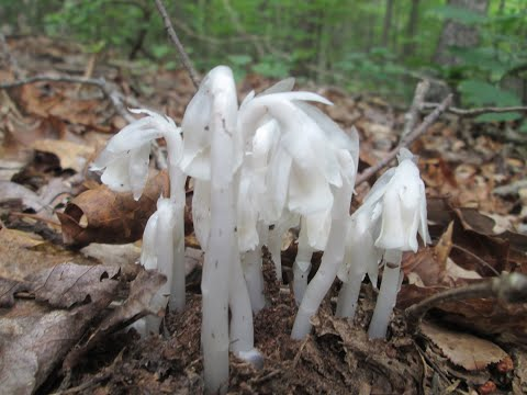 Making Indian Pipe Nerve Tonic and Pain Relief Tincture