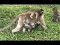 Wow! Twins Baby Monkeys? Funny Baby Monkey With Mom