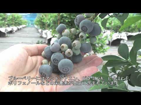 神戸町 「ブルーベリー手摘み農園 ブルーナベリーナ」