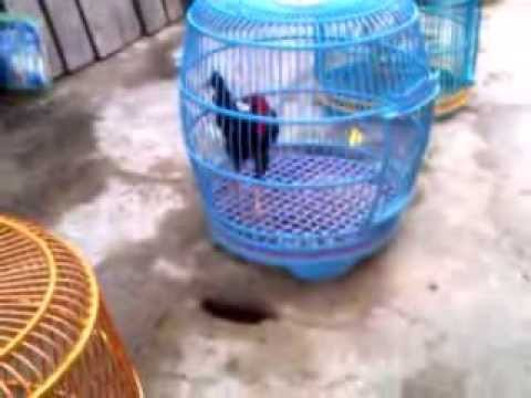 Ayam Bekisar Hanoman Sampang video
