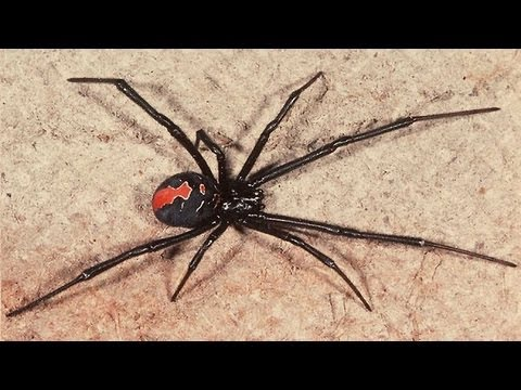 Australia's Most Venomous Spider Removed From My House