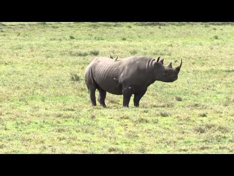 Black rhino in Lake Nakuru NP, Kenya