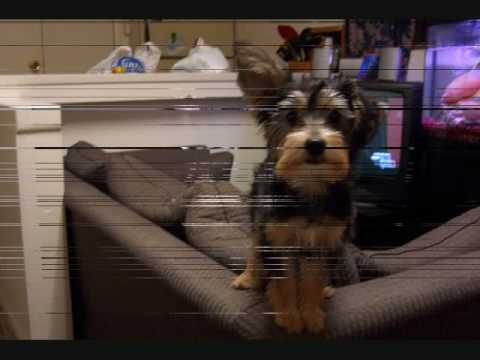 black and white yorkie poo. Cute yorkie poo puppy playing