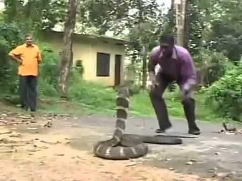 Змея  убийца   королевская кобра