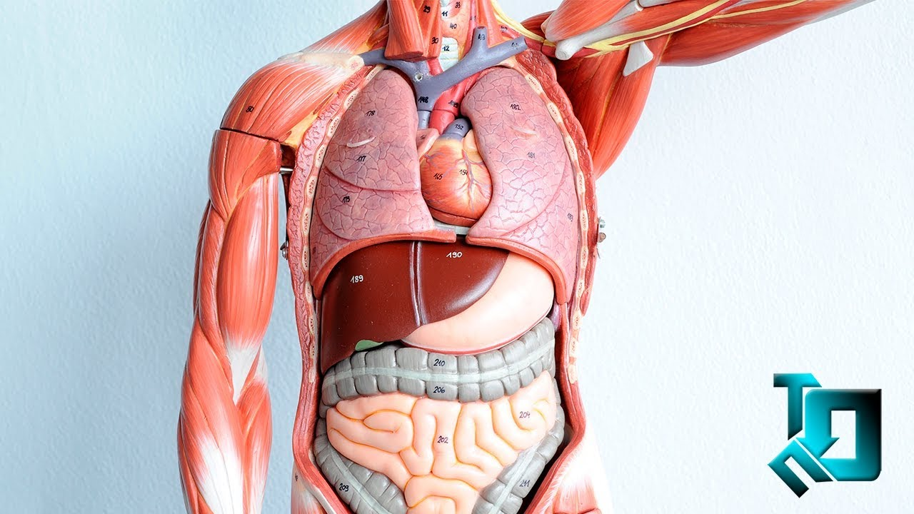 Как расположены органы фото
