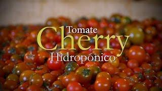 Como se Desarrolla un Cultivo de Tomate Cherry Hidropónico - TvAgro por Juan Gonzalo Angel