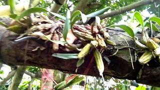 11 loại lan khó trồng mà người mói choi Lan không nên mua và ghép