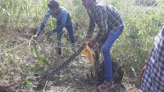 (100% Real Life) Brave farmers Catch the anaconda Snake  in farm.mp4