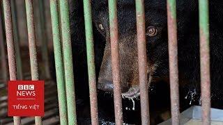 Việt Nam: Thân phận thảm thương của gấu bị bắt lấy mật - BBC News Tiếng Việt