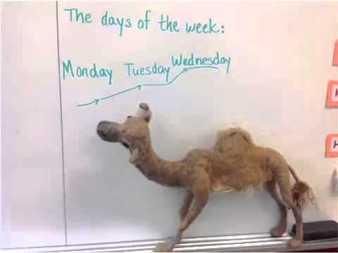Hump Day Camel Mike Mike Mike Mike The Camel Explains Quot Hump