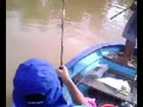 23 Kg Tapah Fishing at SEBAUH RIVER,SARAWAK, MALAYSIA