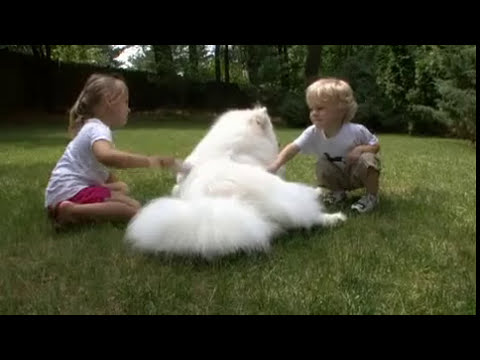 Samoyed 101 dogs