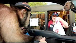 Capuchin Monkey Goes to Zaxby's!