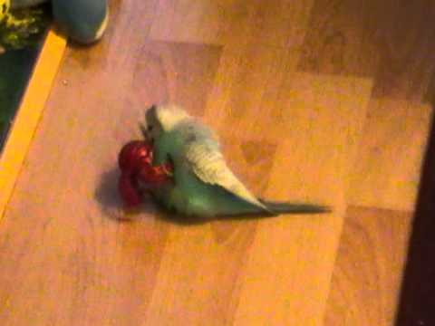 Bakugan vs sex crazy Parrot (Budgie)