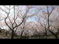 刺鹿神社の桜