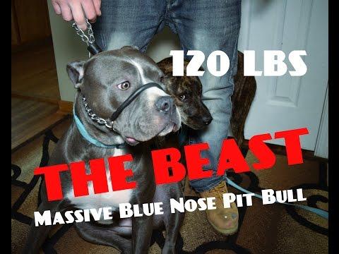 Massive Blue Nose Pit Bull Fights Authority - Dog Whisperer BIG CHUCK MCBRIDE SafeCalm Dog Collars
