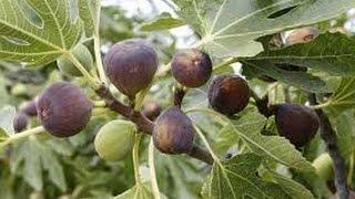 209 - How to grow FIG/ANJEER /FAKURA from dry fig (Hindi /Urdu) 8/12/16