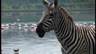 Funny Talking Animals: Call of the Wild - Zebra Sings