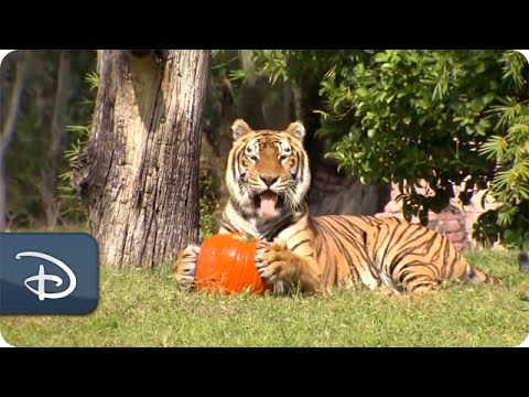 Disney s Animal Kingdom Wildlife Treated to Pumpkins for Halloween