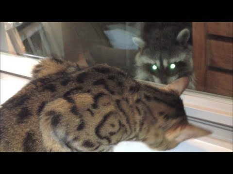 Cats Vs Raccoons