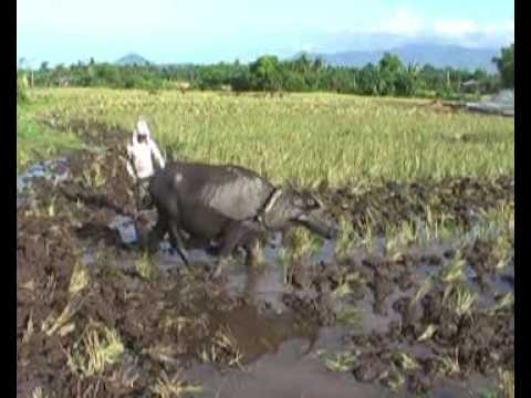 Rice planting in the Philippines