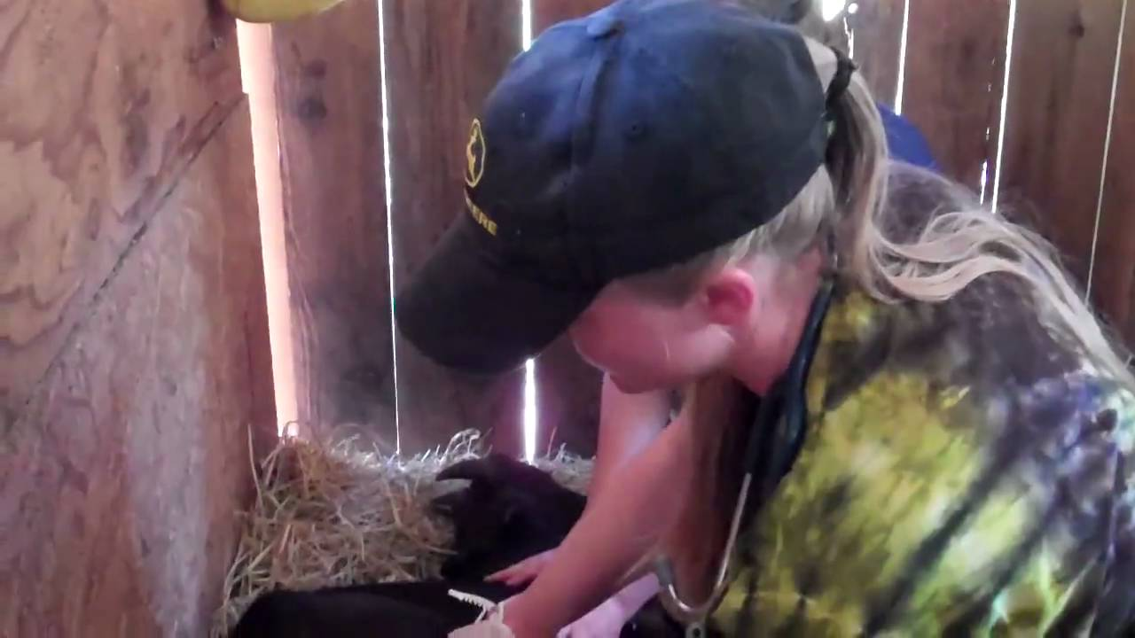 Simon the goat gets castrated - YouTube