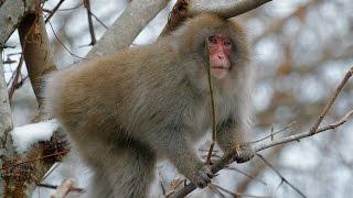 Elusive Snow Monkeys - Japan's Northern Wilderness - BBC Earth