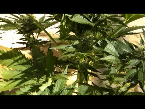 Flushing Cannabis Plants