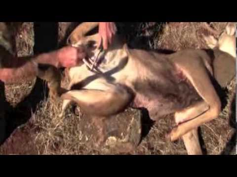Using the SawDaddy deer gutting tool to gut a deer