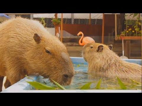 カピバラの「涼みながら、草をもりもり食べるよ」(Capybaras eat glass in water)