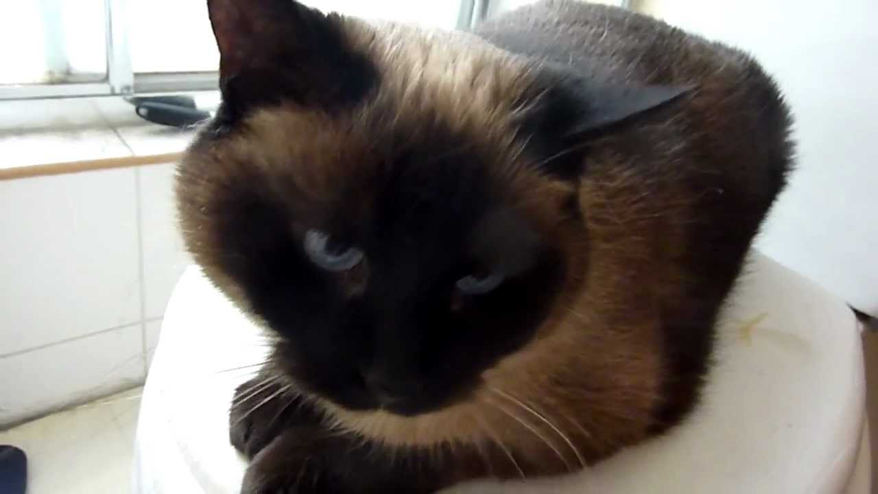 Siamese Cat Meowing Before I Take A Shower Youtube