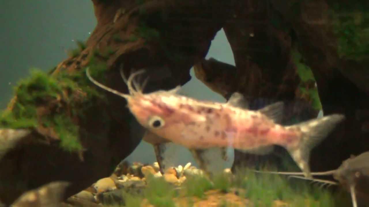 True Upside Down Catfish for sale at Tyne Valley Aquatics - YouTube