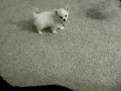maltese chihuahua mix at 2 months - YouTube