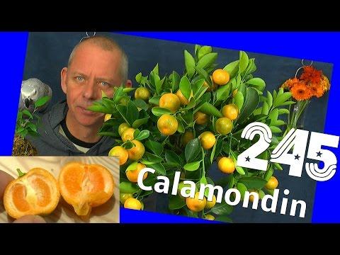 Calamondin Citrus microcarpa und Chili Anaheim