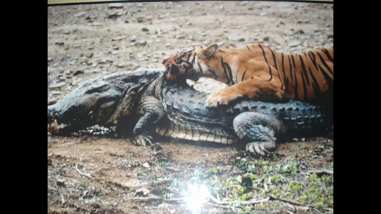 Saltwater crocodile vs tiger - photo#6