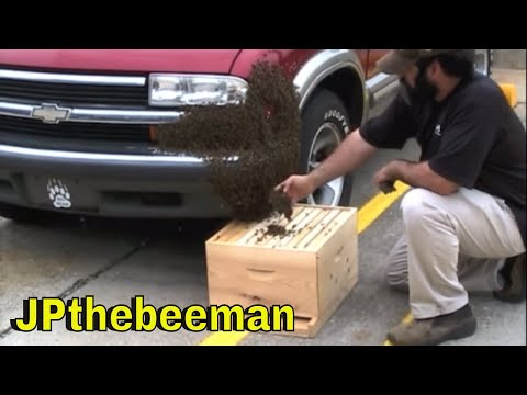 Huge Honey Bee Swarm On Vehicle
