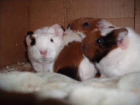 0 By the time you begin to realize your guinea pig might be pregnant, ...