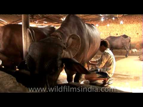 Buffalo being milked at a dairy farm in New Delhi, India
