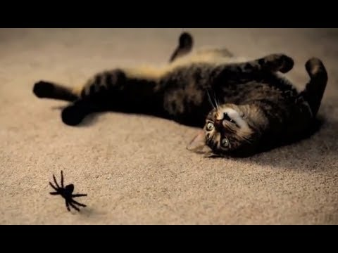 Mean Kitty - Spider Prank