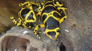 Feeding my New Dart Frogs--Dendrobates leucomelas