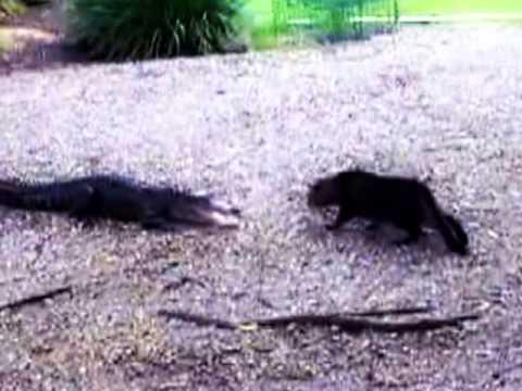 Pertarungan Hebat Antara Buaya dan Kucing