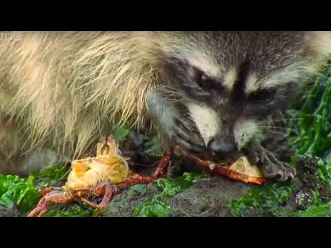 Raccoon vs Rock Crab - Blue Planet - BBC